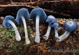 Clitocybula azurea - what a cool mushroom. Its tiny, loves old wood and too rare. Chalalan Amazon.