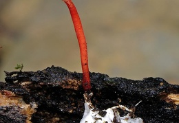 Ophiocordyceps caloceroides excavated