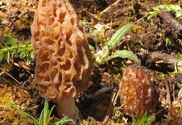 Morchella pair Dranggo 2015 DW Ms