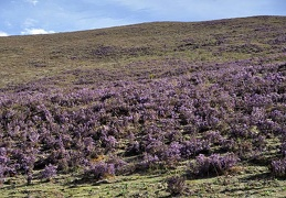 Rhododendron slope Litang 2015 DW Ms