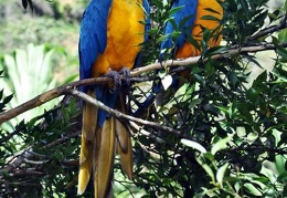 Ara ararauna Blue-Yellow Macaw S