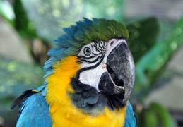 Ara ararauna Blue-Yellow Macaw face S