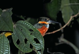 Green-and-rufous Kingfisher (Chloroceryle inda) S