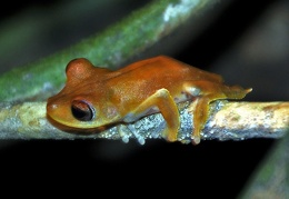 Hyla geographica Chalalan S