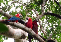 Macaws in the canopy S