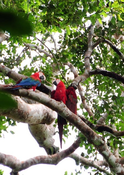 Macaws in the canopy S.jpg