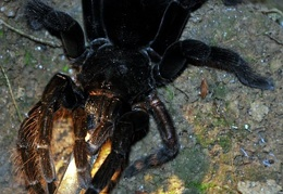 Tarantula Chalalan Nightwalk Cr S