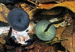 Agaric dark blue capped Chalalan13 S