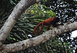 Bolivian Red Howler Alouatta sara on the move S