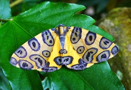 Butterfly yellow blue Coroico S