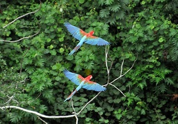 Macaw pair in flight S