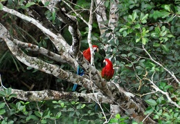 Macaw pair tree S