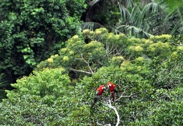 Macaw pair in tree S