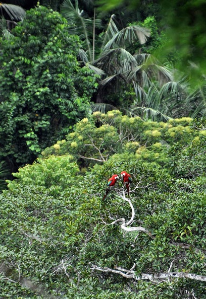 Macaw pair in tree S.jpg