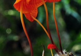 Marasmius orange-red Chalalan S