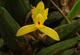 Orchid yellow Chalalan S