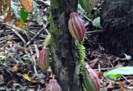 Theobroma cacao tree chocolate w fruits S