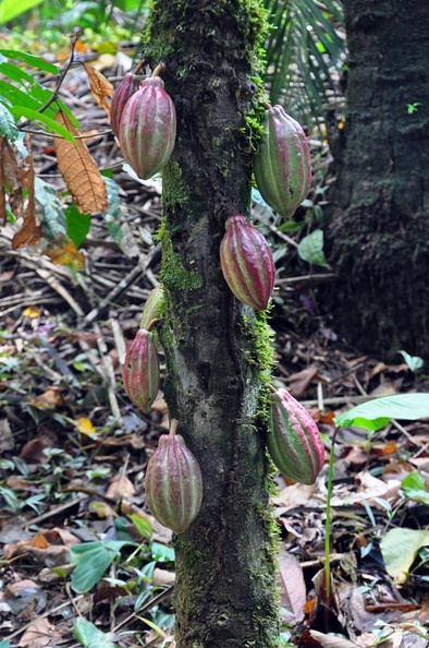 Theobroma cacao tree chocolate w fruits S.jpg