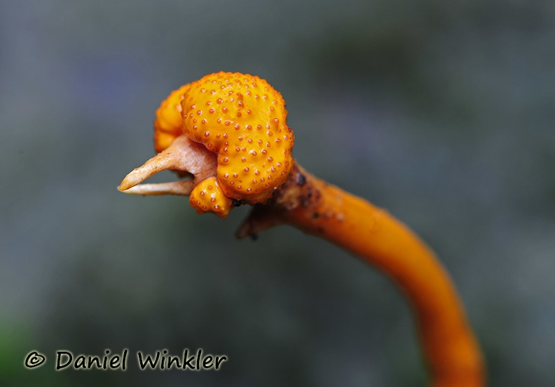 Cordyceps on weevil DW MS.jpg