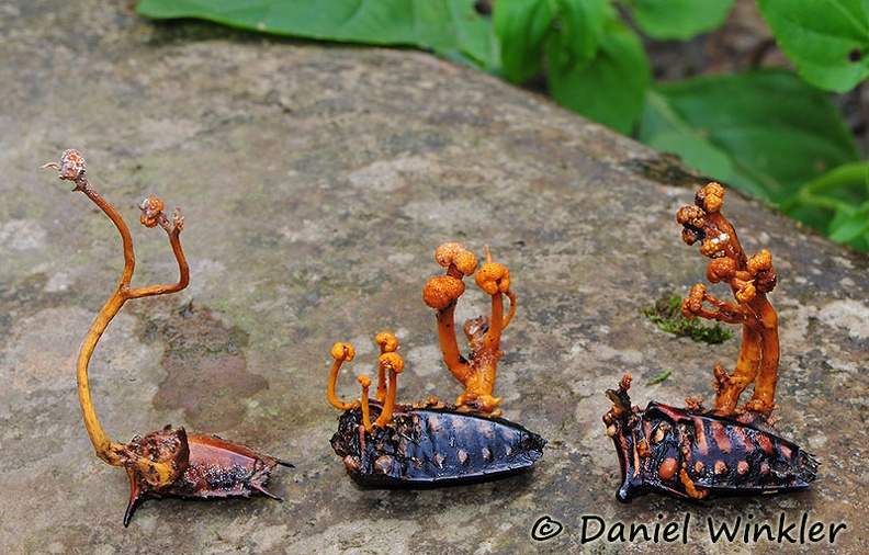 Cordyceps on weevil group DW MS.jpg