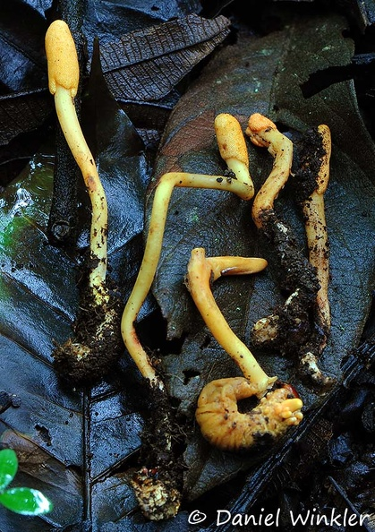 Ophiocordyceps melolonthae group DW Ms.jpg