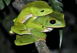 Phyllomedusa  Amazon Monkey tree frog mating