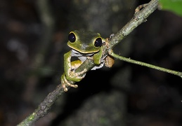 Phyllomedusa   Amazon Monkey tree frog branch