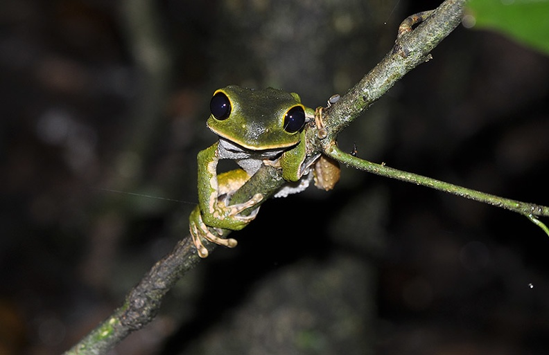 Phyllomedusa   Amazon Monkey tree frog branch MS.jpg