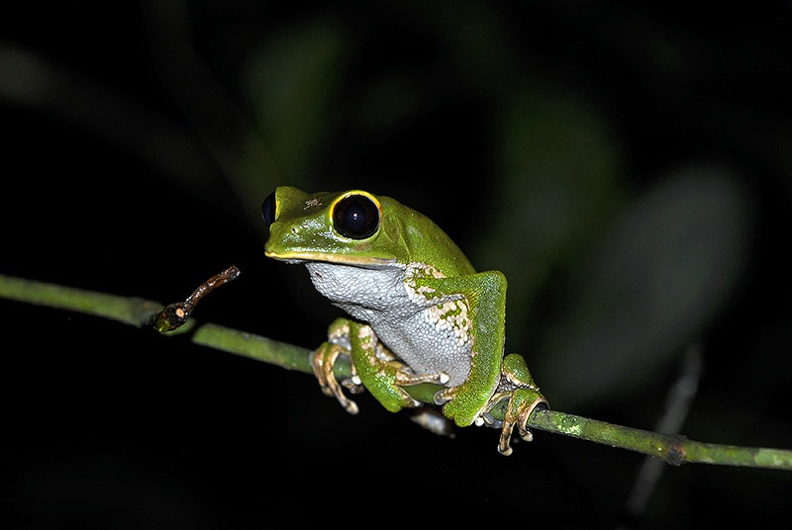 Phyllomedusa sp  Amazon Monkey tree frog MS.jpg