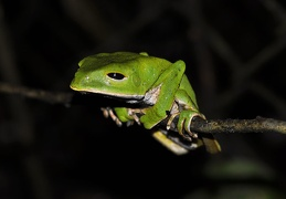 Phyllomedusa sleepy  Amazon Monkey tree frog