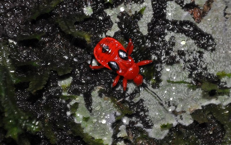 Scarlet Red bug MS.jpg