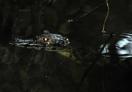 Spectacled Caiman - Caiman crocodilus yacare MS