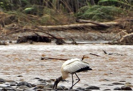 Wood stork Tuichi Cr MS