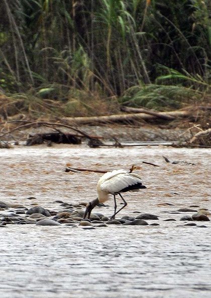 Wood stork Tuichi Cr MS.jpg