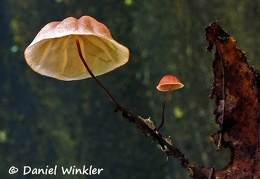 Marasmius pinkish black stem DW Ms