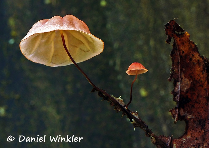 Marasmius pinkish black stem DW Ms.jpg