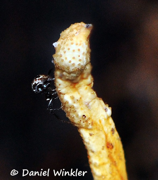 Metacordyceps martialis Wichi Spider DW Ms.jpg