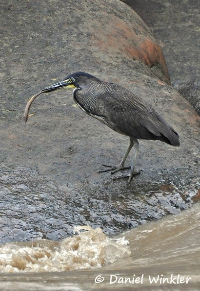 Striated Heron Butorides striatus DW MS.jpg