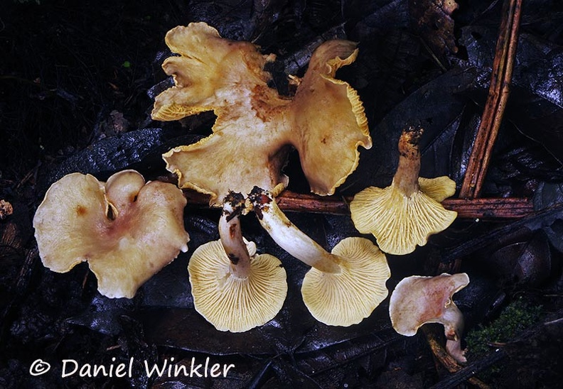 Cantharellus sp pale group Chicaque DW Ms.jpg