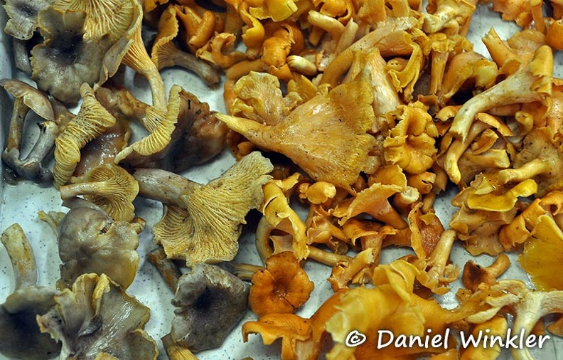 Cantharellus tray Chicaque 2 Species DW Ms.jpg