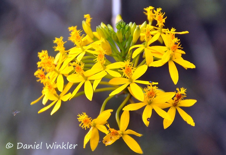 Epidendron yellow Medellin DW CR Ms.jpg