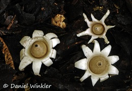 Geastrum spp Chicaque