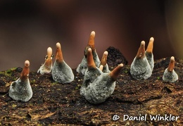 Xylaria immature  DW Ms