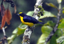 Yellow black bird Rio Claro DW Ms