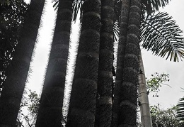 Bactris gasipaes palm