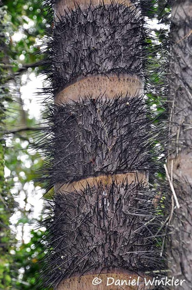 Bactris gasipaes palm Chontaduro spines DW Ms.jpg