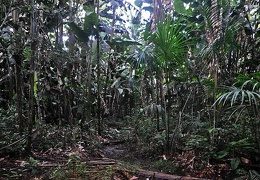 Giant Heliconia forest
