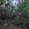 Giant Heliconia forest Ms.jpg