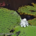 Victoria amazonica Giant water Lily flower DW MS.jpg