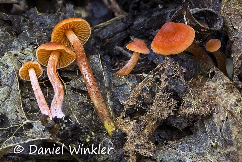 Agaric red tayrona DW Ms.jpg